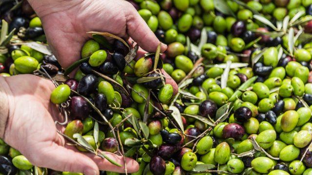Puglia, terra di ulivi